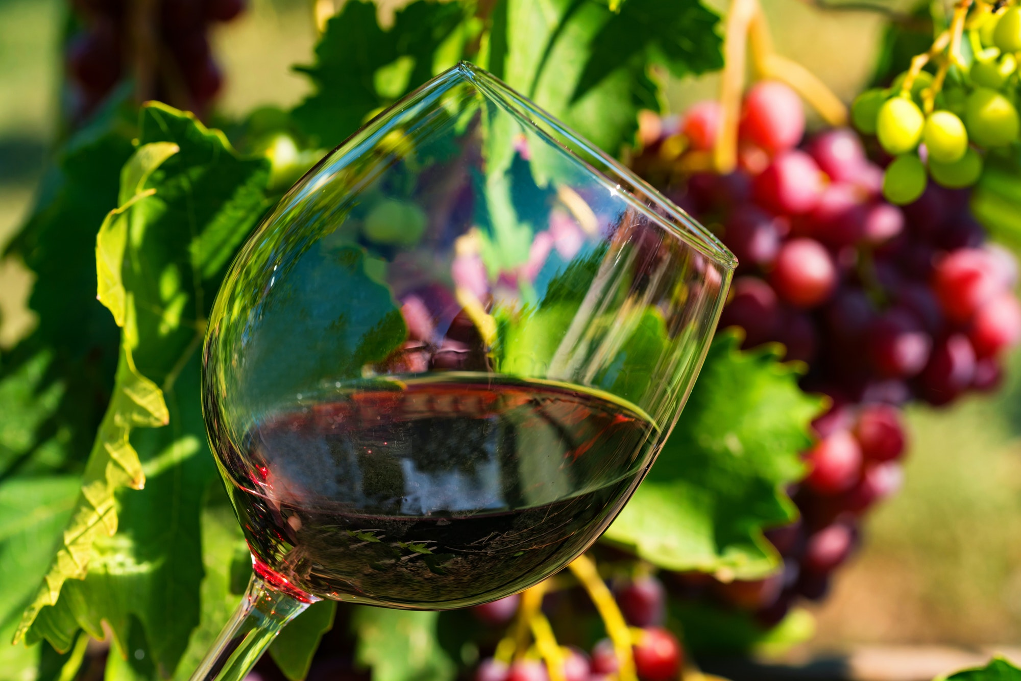 Close up glass with red wine next to grapes in vineyard